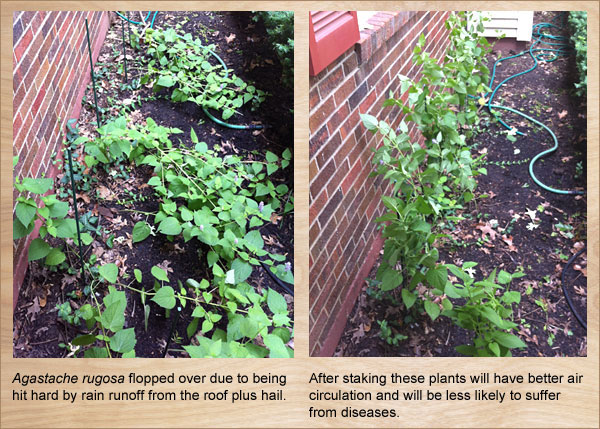 Garden maintenance may include staking plants damaged by rain and hail