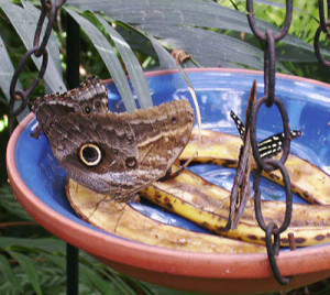 Butterflies feeding on overripe bananas