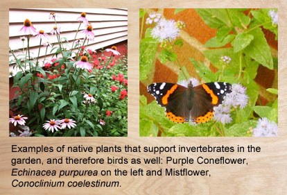Two examples of native plants, Purple Coneflower and Mistflower that help attract birds..