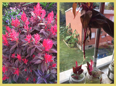 Celosia outside and Celosia cuttings