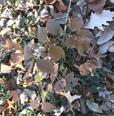 Honeysuckle leaves in brown fall color