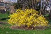 Forsythia bush in bloom